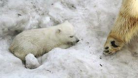 Приполюсный Она-медведь прижимаясь для того чтобы принести младенца сток-видео
