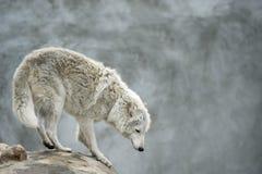 Приполюсный tundrian волк стоя на clief Стоковые Фотографии RF