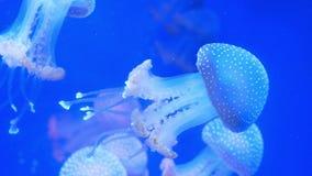 Природа аквариума медуз видеоматериал