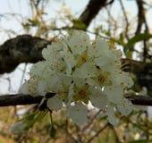 Природа, весна, plumblossoms, цветки, красивый, белый, свежие стоковое фото rf