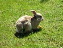 Природа в городе: Очаровательный сладостный коричневый кролик зайчика подавая, Ванкувер, апрель 2018 Стоковое фото RF
