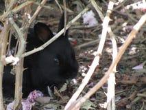Природа в городе: Очаровательный сладостный черный кролик зайчика за thornbush, Ванкувер младенца, май 2018 Стоковые Фото
