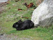 Природа в городе: Черный кролик зайчика на предыдущем после полудня весны, Ванкувер, 2018 Стоковое Изображение