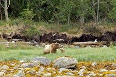 природа гризли новичка медведя канадская Стоковая Фотография RF
