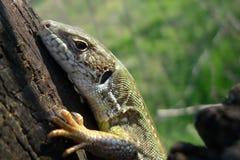 природа зеленой ящерицы Стоковые Фотографии RF
