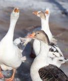 Природа зимы гусыни Стоковые Фото