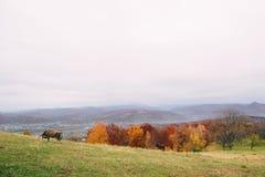 Природа Карпатов, корова пася Стоковые Фото