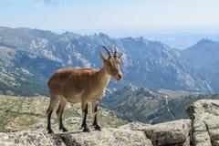 Природа 07 козы стоковая фотография rf