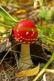 Природа, ландшафт, осень, роскошный гриб одиночн-пластинчатого гриба Стоковое Изображение