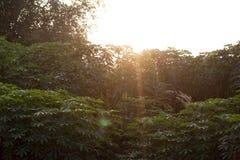 Природа листьев кассавы стоковые фотографии rf