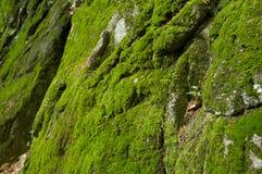 природа мха предпосылки Стоковая Фотография