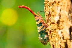 Природа насекомого Pyrops candelaria Стоковая Фотография RF