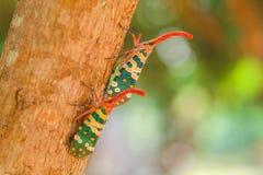 Природа насекомого Pyrops candelaria Стоковое фото RF