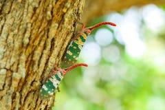 Природа насекомого Pyrops candelaria Стоковые Изображения RF