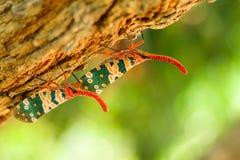 Природа насекомого Pyrops candelaria Стоковое Изображение