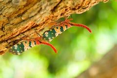 Природа насекомого Pyrops candelaria Стоковые Фото