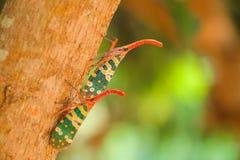 Природа насекомого Pyrops candelaria Стоковые Фотографии RF