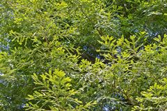 Природа нескольких деревьев redwood полностью солнечный день голубого неба Стоковое Фото