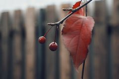 природа осени загородки красных лист ветви дерева ягод деревянная Стоковые Фото