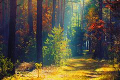 Природа осени леса осени солнечная Путь в красочном лесе с стоковые фото