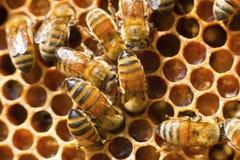 природа пчелы к Стоковое Изображение RF