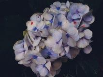 Природа сада цветков гортензий голубая ботаническая стоковое изображение