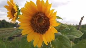 Природа, солнцецветы в значках сети видеоклипа поля на приборах компьютера, планшета или ipad видеоматериал