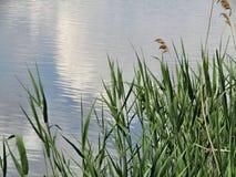 Природа, тростники и озеро стоковое фото