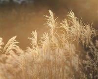 природа eulalia Стоковые Изображения RF