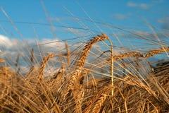 природы золота Стоковые Фотографии RF
