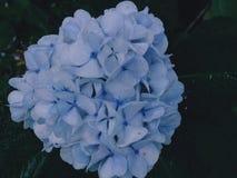 Природы сада цветков гортензий флора ландшафта голубой ботаническая стоковое фото rf