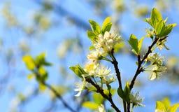 Природа Белые цветения на ветви яблони Стоковые Фото