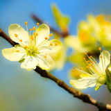 Природа Белые цветения на ветви яблони Стоковое фото RF