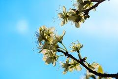 Природа Белые цветения на ветви яблони Стоковые Изображения