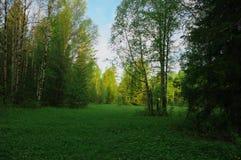 Природа леса деревьев glade лета Стоковые Изображения