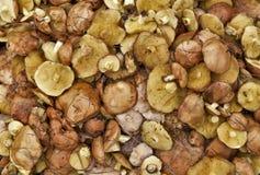 Природа еды желтого цвета леса гриба масленка предпосылки Стоковые Фотографии RF