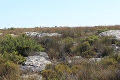 Природа, заводы, кустарники, вегетация, утесы na górze национального парка горы таблицы, перемещения Кейптауна Южной Африки Стоковые Изображения RF