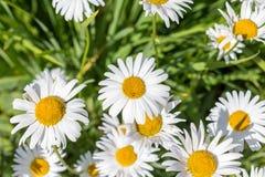 природа зеленого цвета травы стоцветов Стоковая Фотография RF