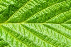 природа листьев предпосылки зеленая Стоковые Фото