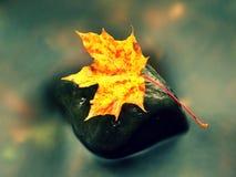 природа осени голубая длинняя затеняет небо Деталь тухлого кленового листа оранжевого красного цвета Лист падения на камне Стоковые Изображения RF