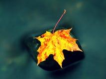 природа осени голубая длинняя затеняет небо Деталь тухлого кленового листа оранжевого красного цвета Лист падения на камне Стоковое Изображение