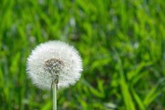 Природа одуванчика весной Стоковое Фото