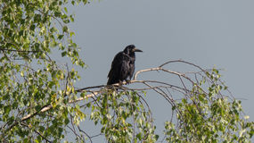 Природа предпосылки дерева березы черной птицы живой природы птицы ворона одна сидя Стоковые Фотографии RF