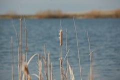 Природа реки Bulrush Стоковые Изображения RF