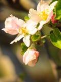 Природа Розовые цветения на ветви яблони Стоковые Фотографии RF
