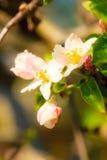 Природа Розовые цветения на ветви яблони Стоковое Фото