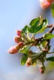 Природа Розовые цветения на ветви яблони Стоковые Фото