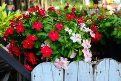 Природа цветка барвинка флористическая красочная Стоковое фото RF