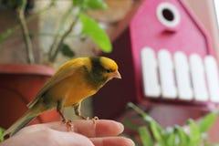 Прирученная птица любимчика стоковые фотографии rf