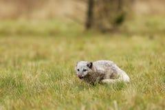 Приспосабливаются белую куропатку лисицы песца superbly на всю жизнь на отрицательных температурах стоковые изображения